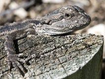 Baby Frill Neck Lizard Stock Image