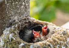 Baby fringes in the nest. Baby hungry Royalty Free Stock Images