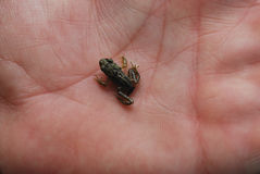 Baby frog. Tiny baby frog on the human palm Royalty Free Stock Photos