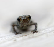 Baby frog front view Royalty Free Stock Photos