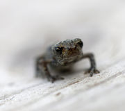Baby frog front view Stock Images