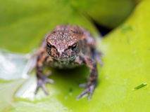 Baby frog on a green leaf royalty free stock image