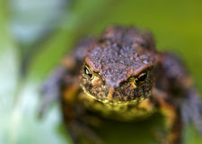 Baby frog on a green leaf Royalty Free Stock Images
