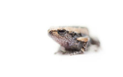 Baby frog isolated focus on eye. Baby frog isolated on white focus on eye stock photos