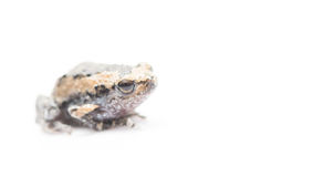 Baby frog isolated focus on eye. Baby frog isolated on white focus on eye royalty free stock photography