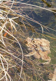 Baby frog with mother at water edge Royalty Free Stock Photos