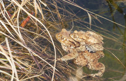 Baby frog with mother at water edge Stock Images