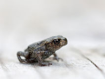 Baby frog side view Stock Photography