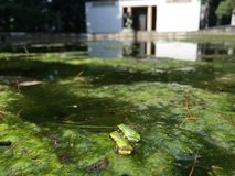 Baby frogs on green algae hopping around. Baby frogs around Royalty Free Stock Photo