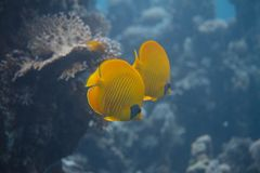 Masked Butterflyfish in Red Sea stock photos