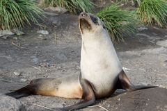Baby Fur Seal on the beach at Cooper Islandr in South Georgia Stock Image