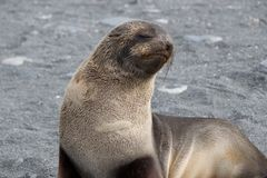 Baby Fur Seal on the beach at Gold Harbor in South Georgia Stock Photos