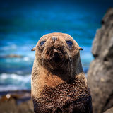 Baby fur seal at the coastline - New Zealand Royalty Free Stock Images