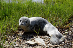 Baby fur seal resting with open eyes on grass Stock Photo