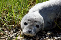 Baby fur seal resting with open eyes on grass Stock Photography