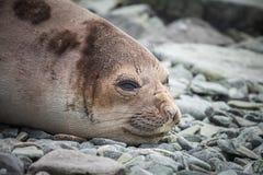 Baby fur seal stock image