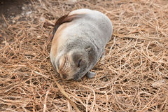 Baby fur seal sleeps on ocean shore Stock Photos