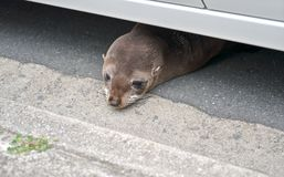 Baby fur seal under car. Baby fur seal is resting under a car on a city street. Mount Maunganui, Tauranga, New Zealand Stock Photo