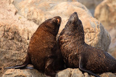Baby Fur Seals. A pair of baby Southern Fur Seals playing in a rookery in the South Pacific Royalty Free Stock Photo