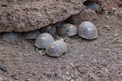 Baby galapagos giant tortoises at Research Center. Baby giant tortoises at Charles Darwin Research Center , Santa Cruz Island, Galapagos Stock Photos