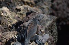 Baby Galapagos Iguana. Iguana on a lava rock at Galapagos Islands Royalty Free Stock Photography