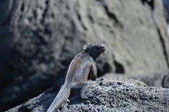Baby Galapagos Iguana. Iguana on a lava rock at Galapagos Islands Stock Image