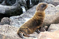 Baby Galapagos sea lion Stock Photo