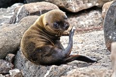 Baby Galapagos sea lion Royalty Free Stock Photo