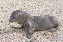 Baby Galapagos Sea Lion on the Beach Stock Images