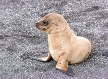 A Baby Galapagos Sea Lion Stock Photo
