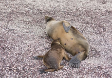 Baby Galapagos Sea Lion Nursing Royalty Free Stock Photography