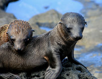 Baby Galapagos sea lions on lava. Two baby Galapagos Island sea lions royalty free stock photo