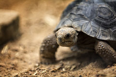 Baby Galapagos Tortoise Stock Photos