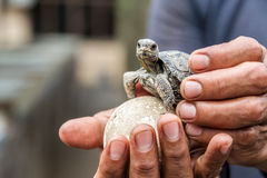 Baby Galapagos Tortoise Royalty Free Stock Photography