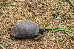 Baby Galapagos Tortoises Royalty Free Stock Photography