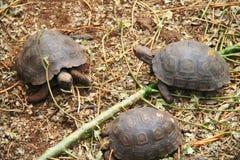 Baby Galapagos Tortoises Stock Photography