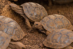 Baby Galapagos Tortoises Stock Photo