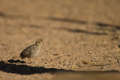 Baby Gamble's Quail Stock Photos