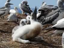 Baby gannet Stock Images