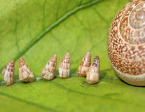 Baby Garden Snails going home Royalty Free Stock Photography
