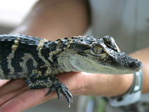 Baby Gator. This little guy will end up 6 feet long or bigger Stock Photo