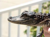 Baby Gator Royalty-vrije Stock Fotografie
