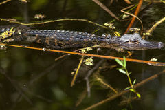 Baby Gator Stock Images