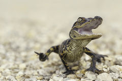 Baby gator attack Stock Photography