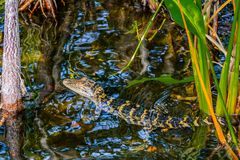 Baby Gator in het Moeras stock fotografie