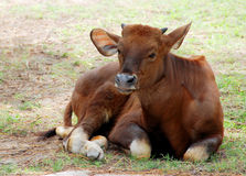 A baby gaur Stock Images