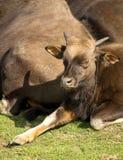Baby gaur Stock Image