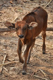 Baby gaur Stock Photo