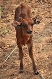 Baby gaur Royalty Free Stock Images