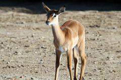 Free Baby Gazelle Royalty Free Stock Photography - 1344917